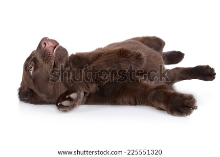 flat coated retriever puppy lying down - stock photo