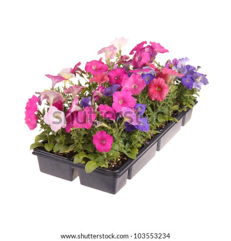 Flat containing seedlings of petunia plants flowering in multiple colors ready for transplanting into a home garden isolated against a white background - stock photo