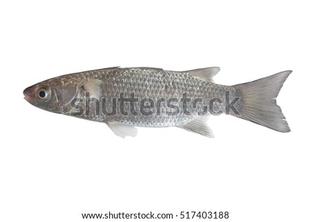 Flathead Grey Mullet (Mugil cephalus) Also known as Flathead Mullet, Grey Mullet, Striped Grey Mullet, Striped Mullet, Sea Mullet