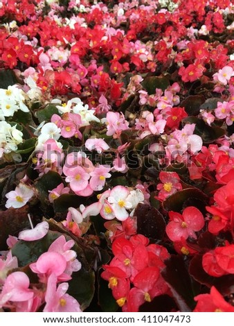 Flats of different colored begonias growing.