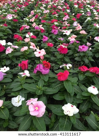 Flats of vinca ready to be sold at plant nursery.