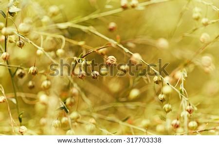Flax after flowering (Linum austriacum)  - stock photo