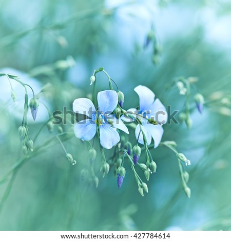 Flax Flowers - stock photo