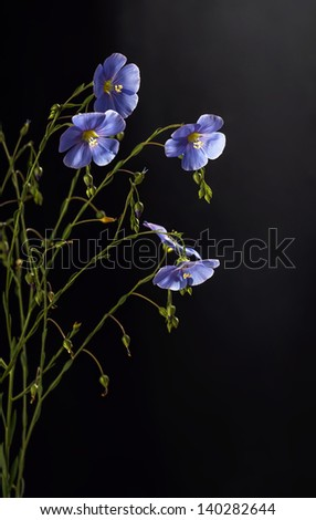 Flax flowers close up on a black background - stock photo