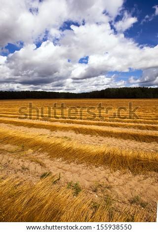 flax harvest   - stock photo