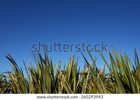 Flax or Phormium against a beautiful blue sky