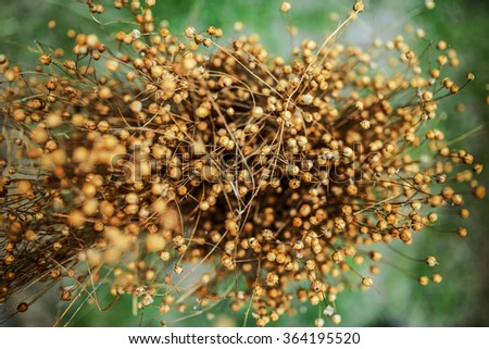 Flax seed pods. Linum (flax) is a genus of approximately 200 species in the flowering plant family Linaceae. They are native to temperate and subtropical regions of the world. - stock photo