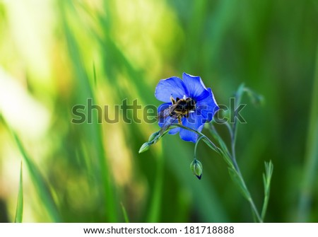 Flax with bumblebee close-up. Selective focus (shallow depth of field). - stock photo