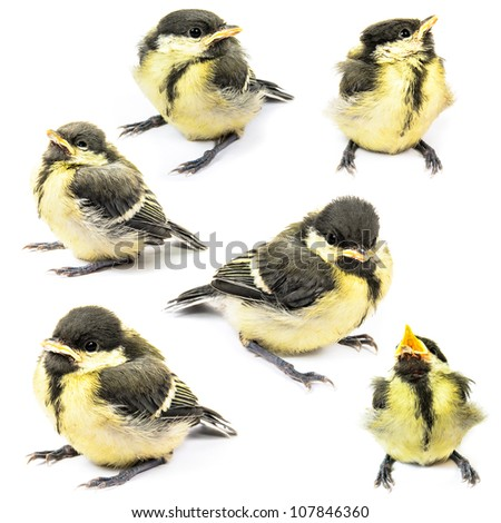 Fledgling birds tit. Photo isolated on white background - stock photo