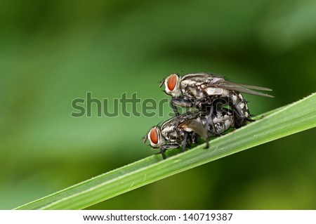 flesh flies are mating on the grass leaf