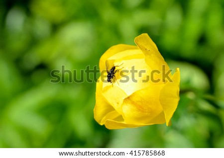 flie on vibrant globeflower in summer sun macro - stock photo