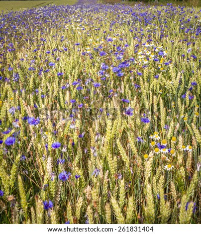 Flied of cornflowers - stock photo