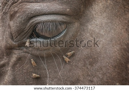 Flies attack eye of the horse