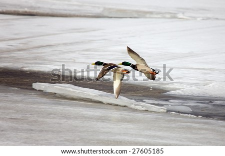 Flight of two wild ducks over the river - stock photo