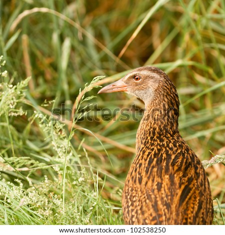 Flightless bird Weka or Woodhen, Gallirallus australis, is endemic to New Zealand - stock photo
