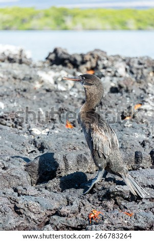 Flightless Cormorant on Isabela Island in the Galapagos Islands
