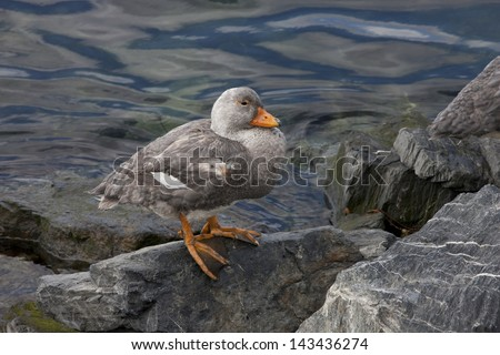 Flightless Steamer-Duck (Tachyeres pteneres), male resting in Ushuaia, Tierra del Fuego, Argentina. - stock photo