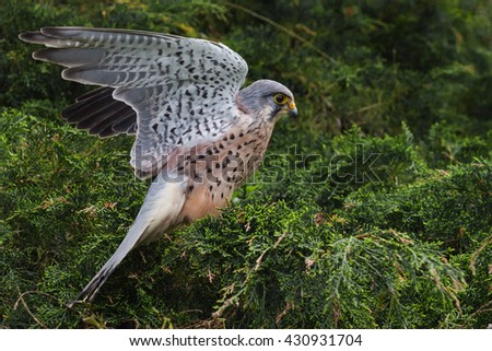 Flighty Kestrel. A lovely male kestrel flaps his wings in preparation for lift off from his perch in a coniferous tree.