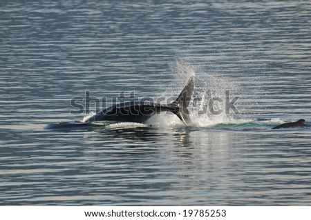 flip of humpback whale in calm alaskan waters - stock photo