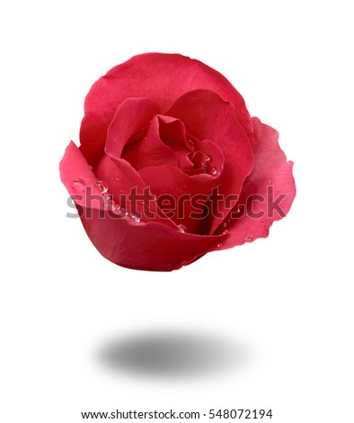 float fresh beautiful red rose and aroma with drop of water for love flower or valentine day on white background with shadow isolated included clipping path