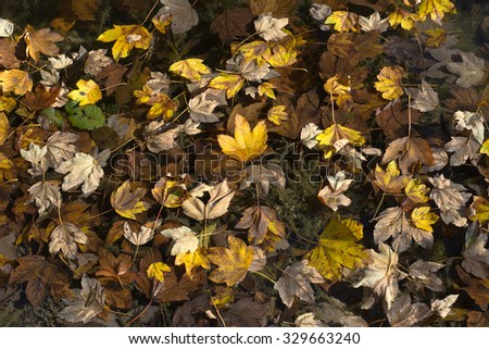 Floating Golden Leaves on an Autumn Day - stock photo