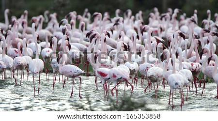 Flock of beautiful Lesser Flamingos - stock photo