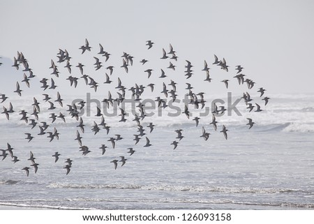 Flock of birds at the beach at  Fort Stevens State Park, Oregon Coast - stock photo