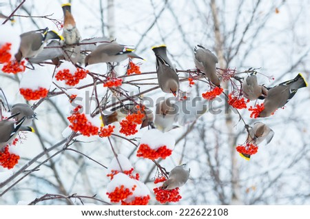 Flock of birds eat frozen rowan - stock photo