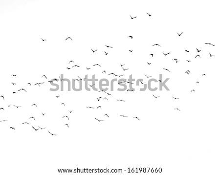 flock of birds isolated on white background, Jackdaw - stock photo