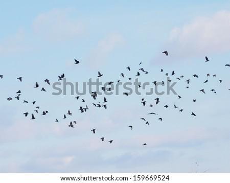 Flock of birds on blue sky - stock photo