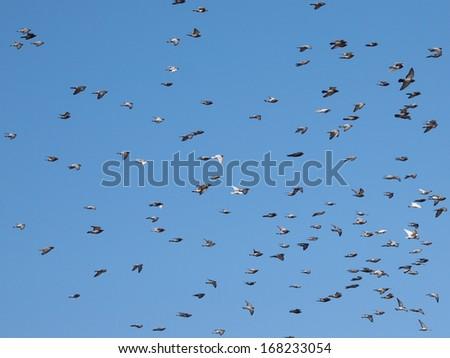 Flock of birds on blue sky background, flock of doves flying - stock photo