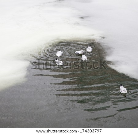 Flock of birds resting on a partially frozen lake