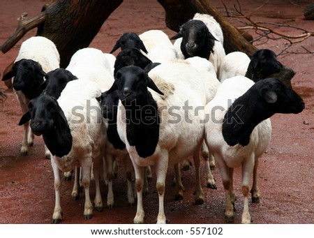 Flock of black and white sheep - an african race