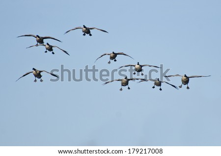 Flock of Canada Geese Coming Down for Landing - stock photo