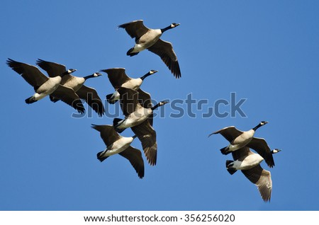 Flock of Canada Geese Flying in a Blue Sky - stock photo