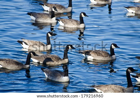 Flock of Canada Geese Swimming in Lake