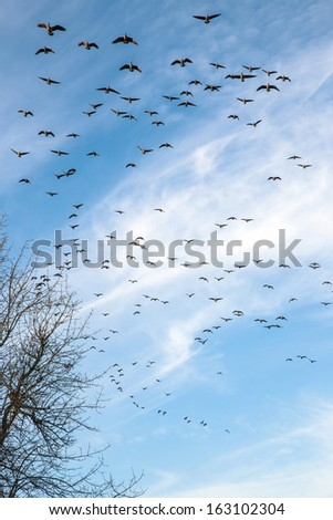 Flock of Canadian geese flying for landing in a park Oregon. - stock photo