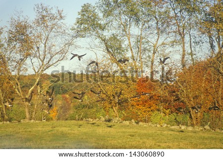 Flock of Canadian Geese taking of in a park, Connecticut - stock photo