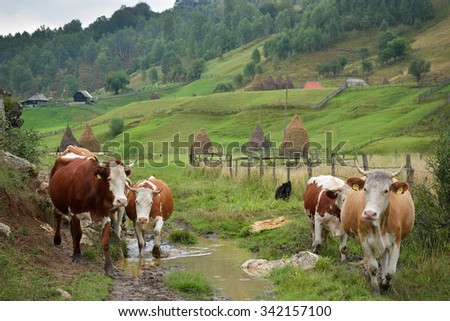 flock of cows on mountain pasture in autumn morning - stock photo