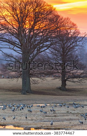 Flock of cranes in the field in morning light