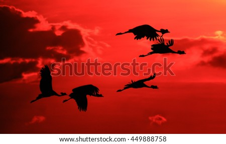 Flock of crowned craned in silhouette