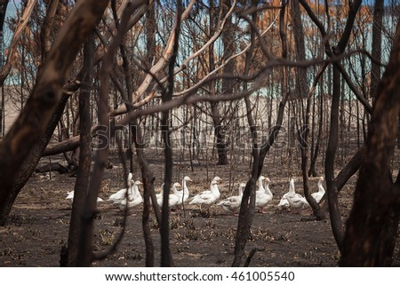 Flock of domesticated Geese wander through burnt out bushland after a bushfire