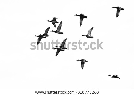 Flock of Ducks Flying on a White Background - stock photo