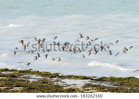 Flock of Dunlins in flight