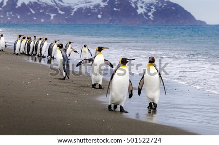 Flock of emperor penguins walk down beach to waters edge