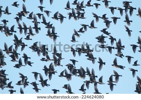 Flock of European Starlings (Sturnus vulgaris) with a blue sky - stock photo