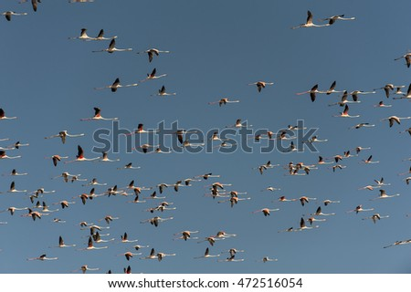 Flock of flamingos in flight with blue sky background.