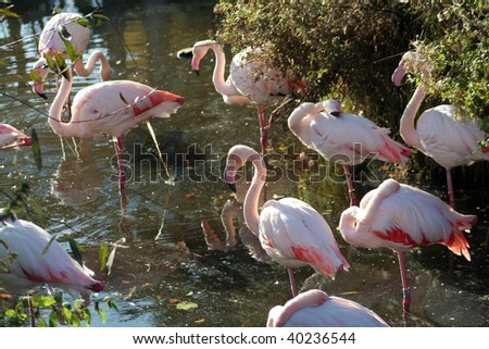 Flock of flamingos in water - stock photo