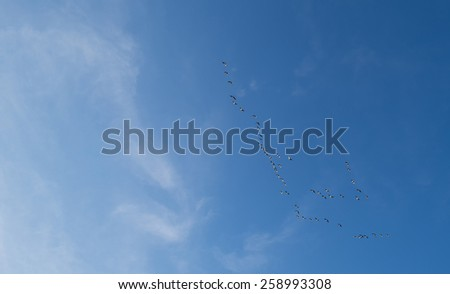 Flock of geese flying in a blue sky in winter - stock photo