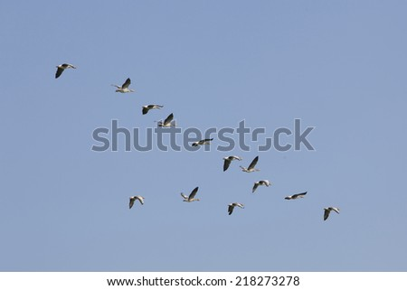 Flock of geese flying in blue sky - stock photo